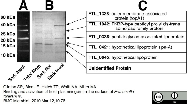 Plasminogen Antibody gallery image 2