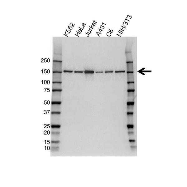 Plc GAMMA-1 Antibody (PrecisionAb<sup>TM</sup> Antibody) gallery image 1