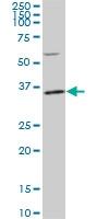 PLSCR3 Antibody | 4B5 gallery image 1