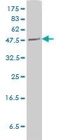 Pltp Antibody | 2F3-G4 gallery image 2