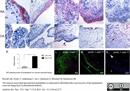 Podoplanin Antibody | D2-40 thumbnail image 4