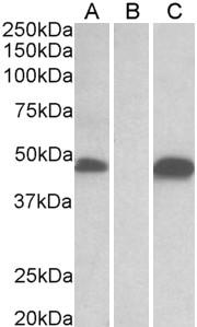 POFUT1 Antibody gallery image 1