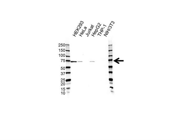 Pokemon Antibody (PrecisionAb<sup>TM</sup> Antibody) gallery image 1