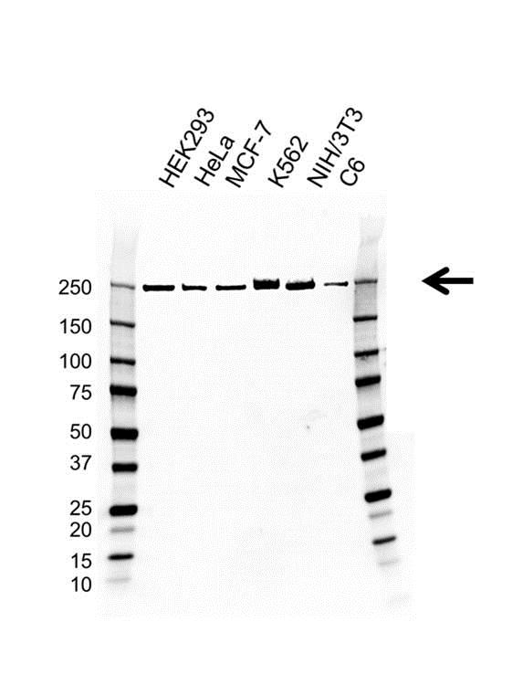 POLR2A Antibody (PrecisionAb<sup>TM</sup> Antibody) | AB01/3D9 gallery image 1