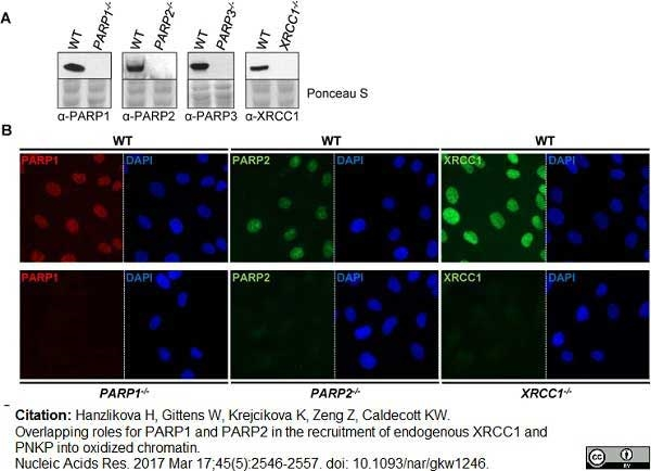 Poly(ADP-Ribose) Polymerase-1 Antibody | A6.4.12 gallery image 7