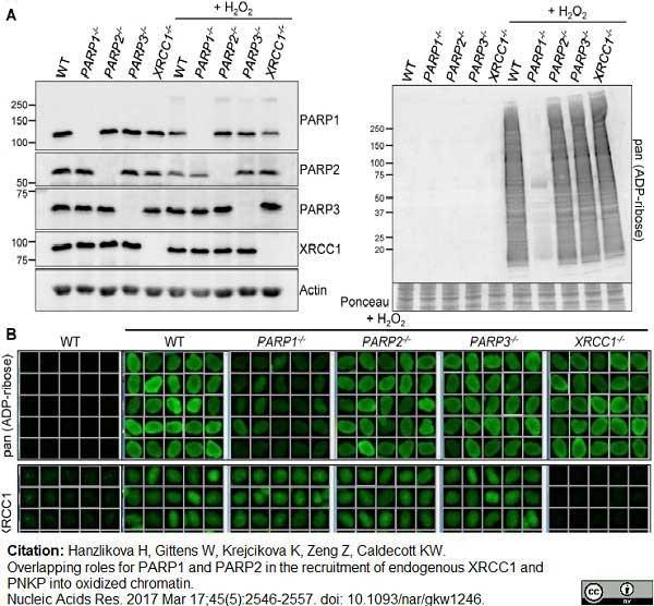 Poly(ADP-Ribose) Polymerase-1 Antibody | A6.4.12 gallery image 8