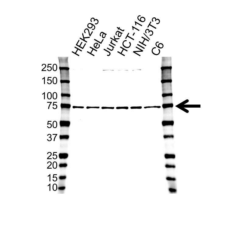 Polyadenylate-Binding Protein 1 Antibody (PrecisionAb<sup>TM</sup> Antibody) gallery image 1