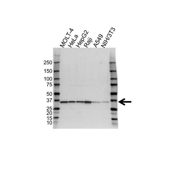 PPA1 Antibody (PrecisionAb<sup>TM</sup> Antibody) gallery image 1