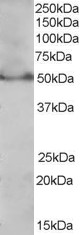 PPAR Delta Antibody gallery image 1