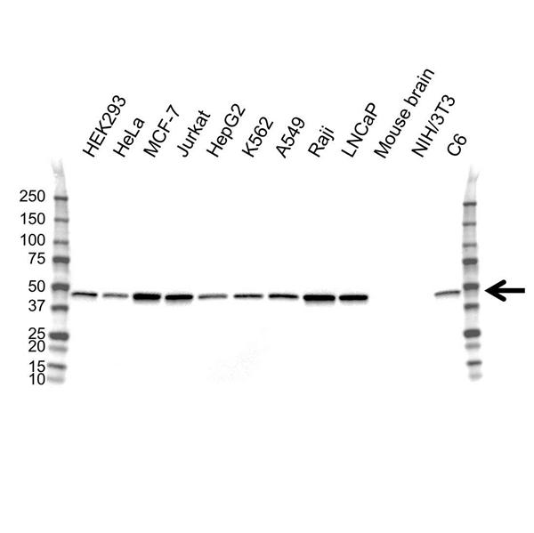 PPM1A Antibody (PrecisionAb<sup>TM</sup> Antibody) gallery image 1