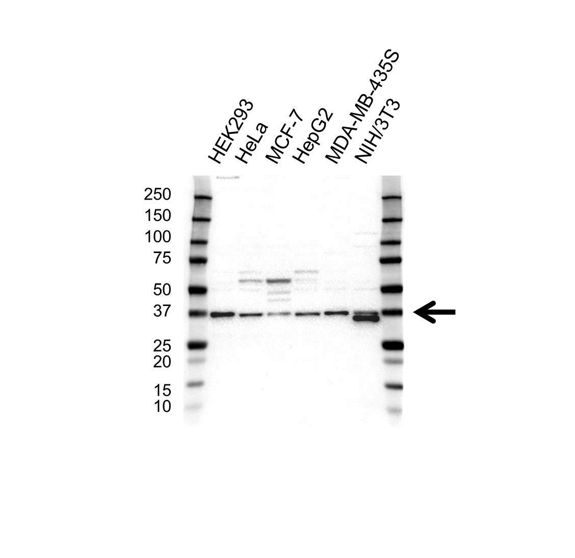 PPP1CC Antibody (PrecisionAb<sup>TM</sup> Antibody) gallery image 1