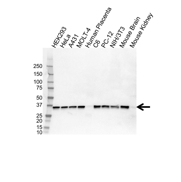 PPP2CA Antibody (PrecisionAb<sup>TM</sup> Antibody) gallery image 1