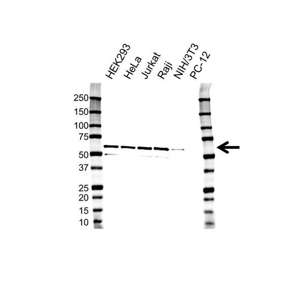 PPP5C Antibody (PrecisionAb<sup>TM</sup> Antibody) | OTI5G5 gallery image 1
