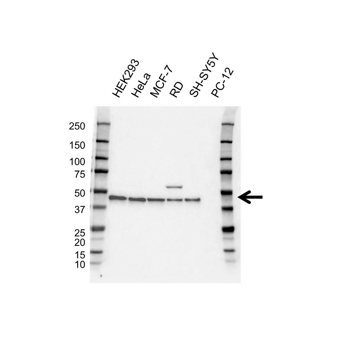 PRAS40 Antibody (PrecisionAb<sup>TM</sup> Antibody) gallery image 1