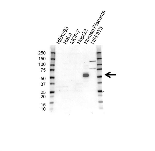 Pregnancy Specific Glycoprotein 1 Antibody (PrecisionAb<sup>TM</sup> Antibody) gallery image 1