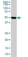 PRKAR2A Antibody | 6A9 gallery image 1