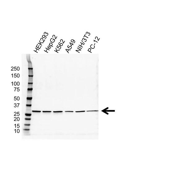 Prohibitin Antibody (PrecisionAb<sup>TM</sup> Antibody) gallery image 1