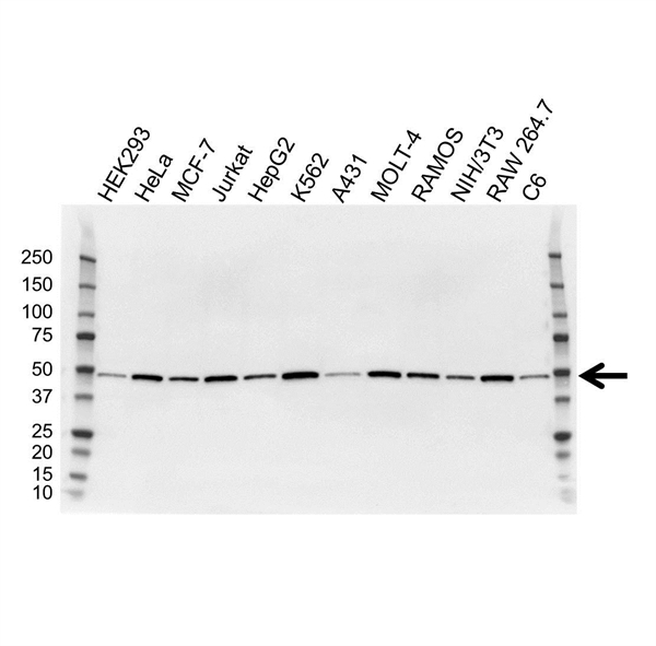 Proliferation Associated Protein 2G4 Antibody (PrecisionAb<sup>TM</sup> Antibody) | OTI1D3 gallery image 1