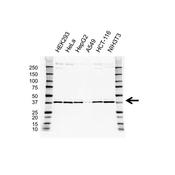 Prolyl Hydroxylase 1 Antibody (PrecisionAb<sup>TM</sup> Antibody) gallery image 1
