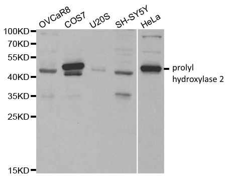 Prolyl Hydroxylase 2 Antibody gallery image 2