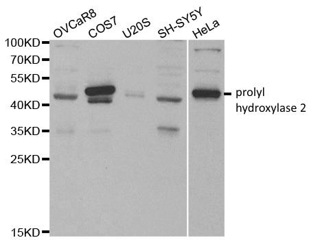 Prolyl Hydroxylase 2 Antibody gallery image 2