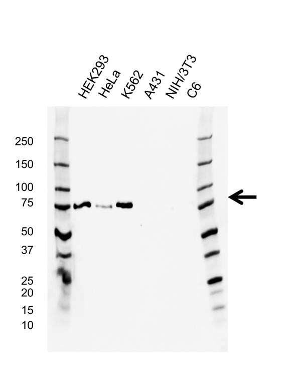 Protein Kinase C zeta Antibody (PrecisionAb<sup>TM</sup> Antibody) | AB02/3G7 gallery image 1