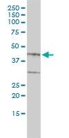 Proteoglycan 1 Antibody   4E1-1G7 gallery image 1