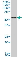 PRPF19 Antibody | 2E5 gallery image 1