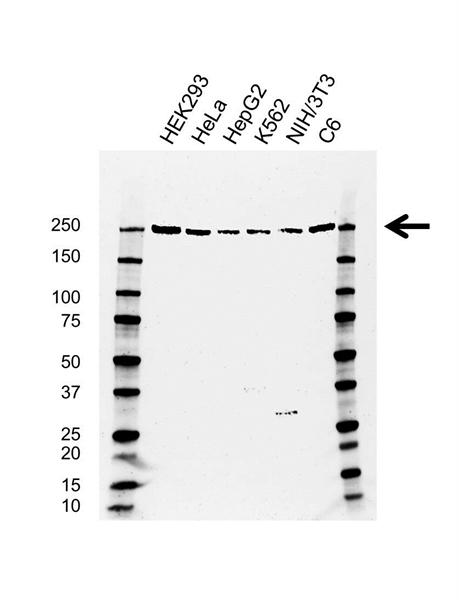 PRPF8 Antibody (PrecisionAb<sup>TM</sup> Antibody) | AB01/4B2 gallery image 1