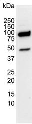 PSIP 1 Antibody | 1C4 gallery image 2