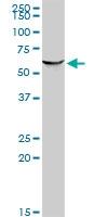 PSIP 1 Antibody | 1C4 gallery image 1