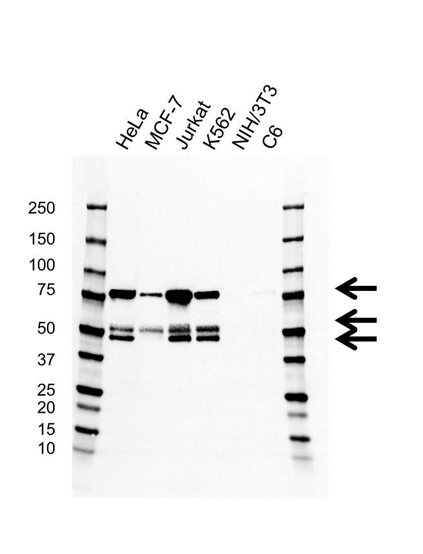 PSIP1 Antibody (PrecisionAb<sup>TM</sup> Antibody) | AB01/1A2 gallery image 1