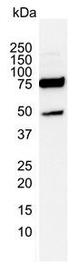 PSIP1 Antibody | 3H1 gallery image 2