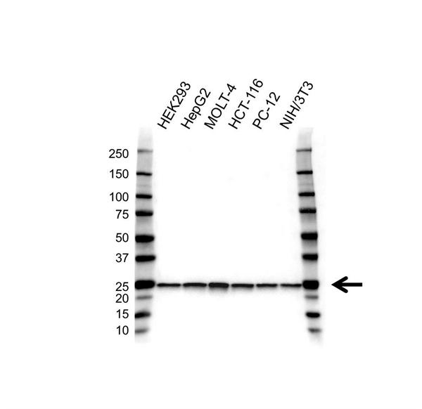 PSMA2 Antibody (PrecisionAb<sup>TM</sup> Antibody) | 4D12 gallery image 1