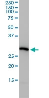 PSMA4 Antibody | 2A10-E4 gallery image 2