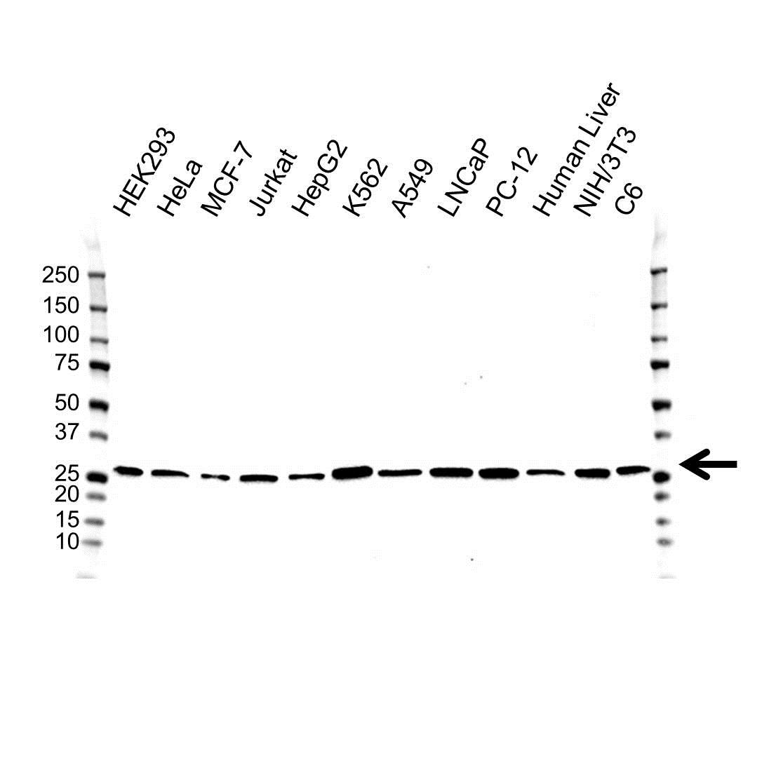 PSMA5 Antibody (PrecisionAb<sup>TM</sup> Antibody) gallery image 1