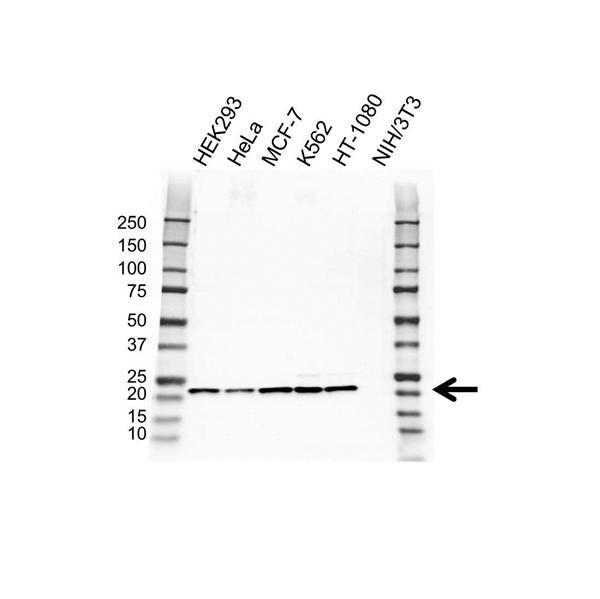 PSMB5 Antibody (PrecisionAb<sup>TM</sup> Antibody) gallery image 1