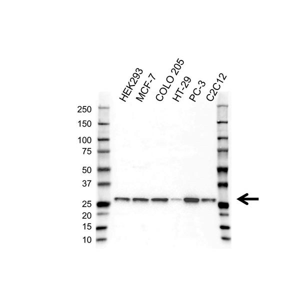 PSMB7 Antibody (PrecisionAb<sup>TM</sup> Antibody) | 4G9 gallery image 1