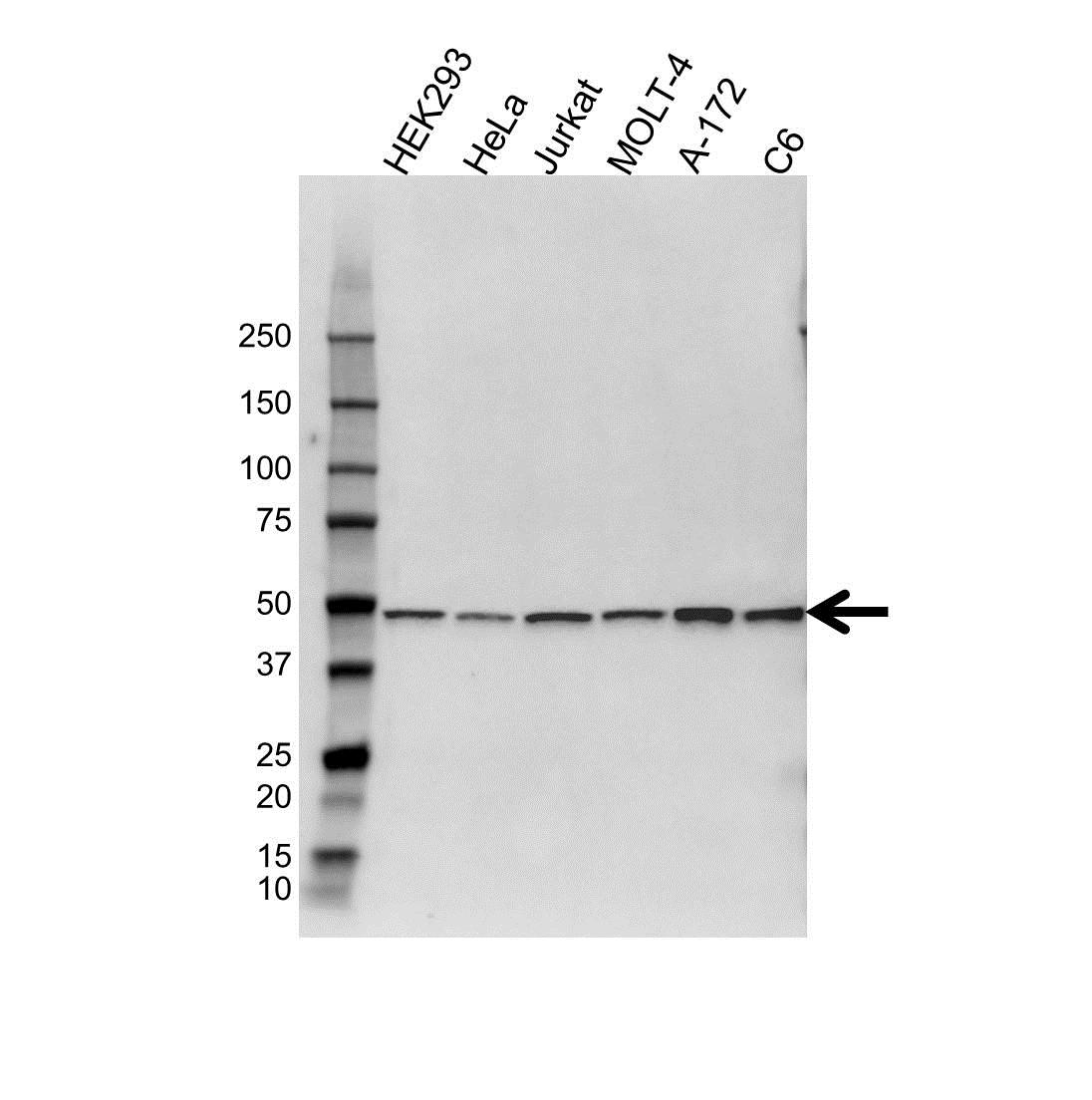 PSMC2 Antibody (PrecisionAb<sup>TM</sup> Antibody) gallery image 1