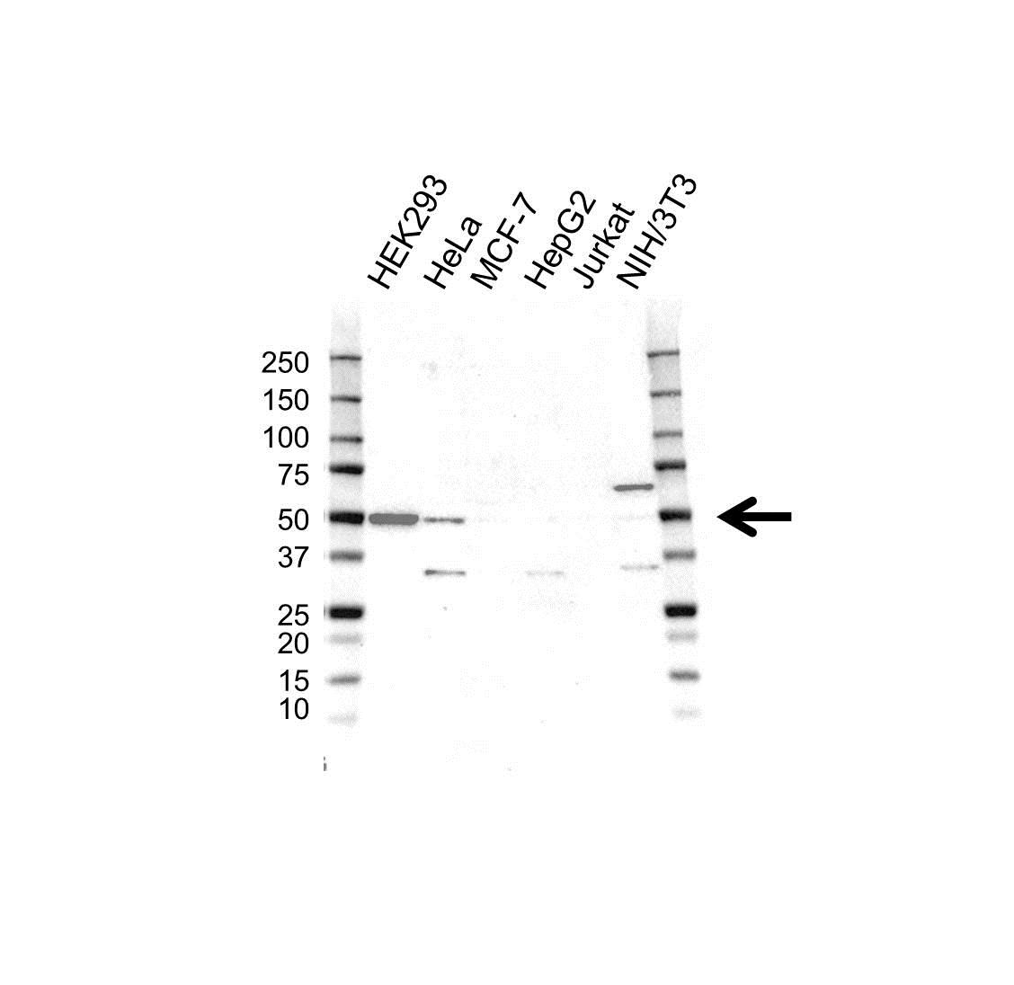 PSMC6 Antibody (PrecisionAb<sup>TM</sup> Antibody) gallery image 1