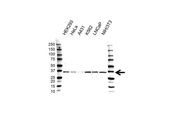 PSMD14 Antibody (PrecisionAb<sup>TM</sup> Antibody) gallery image 1