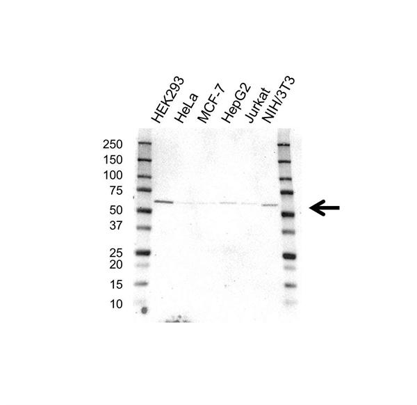 PSMD3 Antibody (PrecisionAb<sup>TM</sup> Antibody) gallery image 1