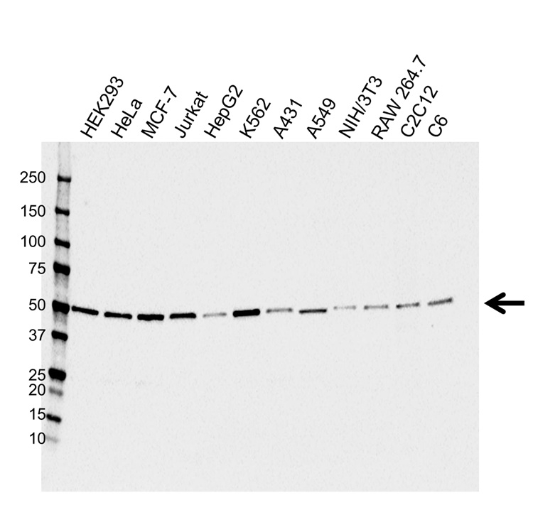 PSMD4 Antibody (PrecisionAb<sup>TM</sup> Antibody) gallery image 1