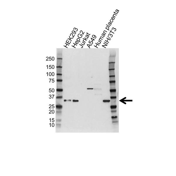 PSMD9 Antibody (PrecisionAb<sup>TM</sup> Antibody) gallery image 1