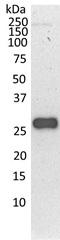 PSMD9 Antibody | 3A4 gallery image 2