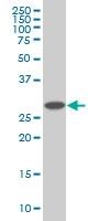 PSMD9 Antibody | 3A4 gallery image 1