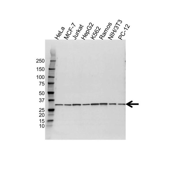 PSME3 Antibody (PrecisionAb<sup>TM</sup> Antibody) gallery image 1