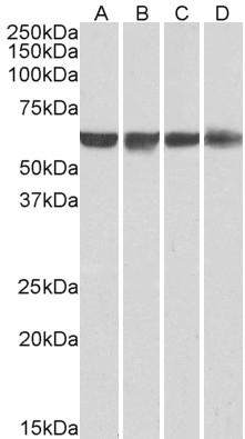 PTBP1 Antibody gallery image 3