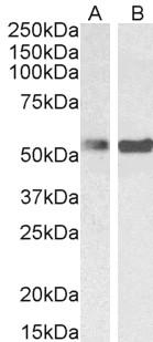 PTBP1 Antibody gallery image 5