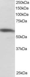 PTBP1 Antibody gallery image 1